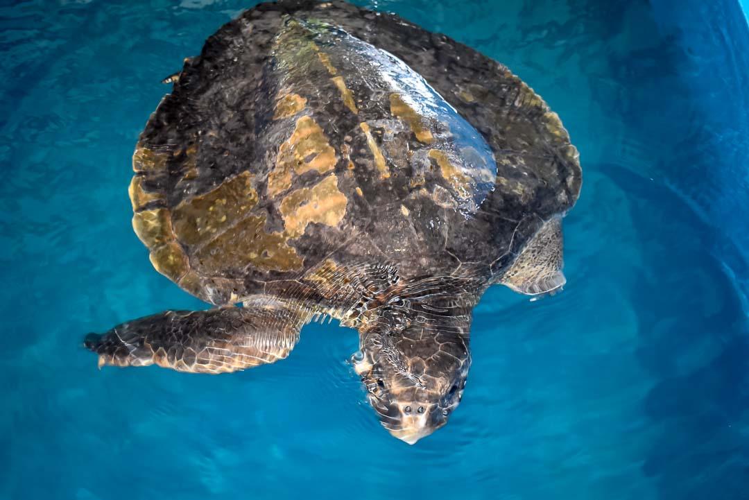 Albert rescue Olive Ridley turtle Marine Savers Maldives