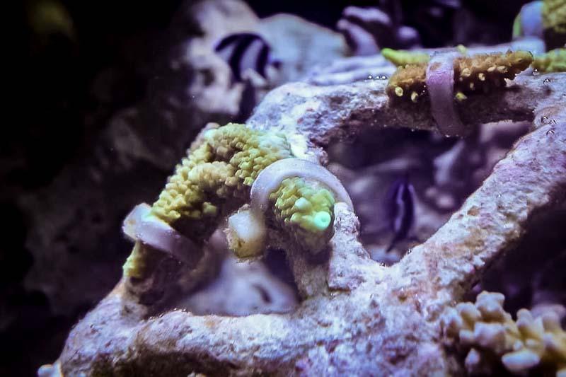 Marine aquarium - Acropora fragment on frame with new corallite on scar