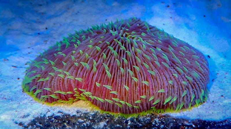 Marine aquarium - Fungia coral with extended tentacles