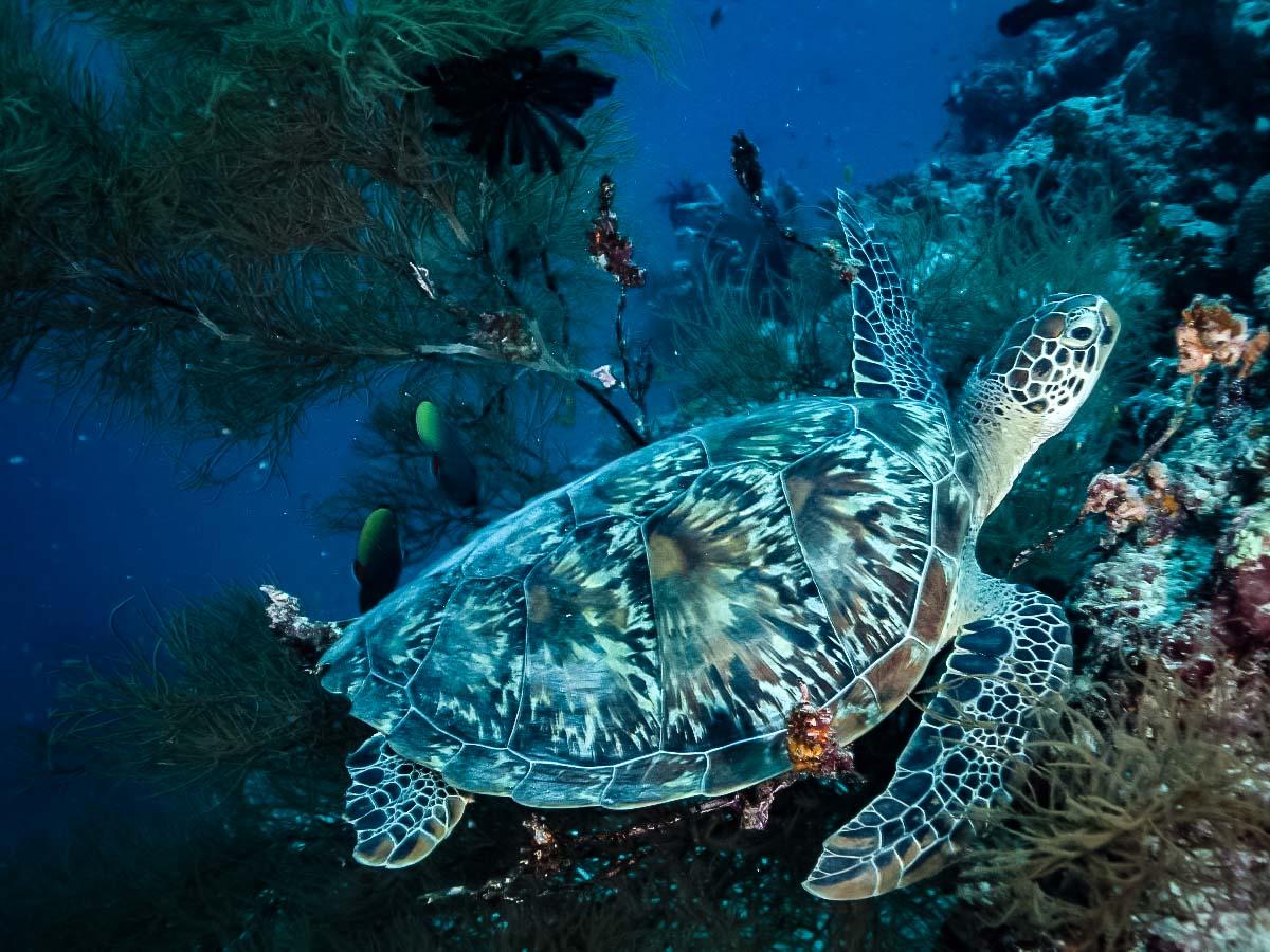 Wild Green turtle on the reef [photo: Michael Frey]