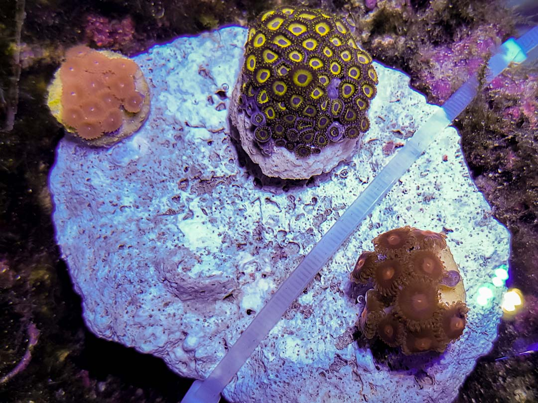 Large marine aquarium Marine Savers Maldives (8) - Zoanthids soft corals