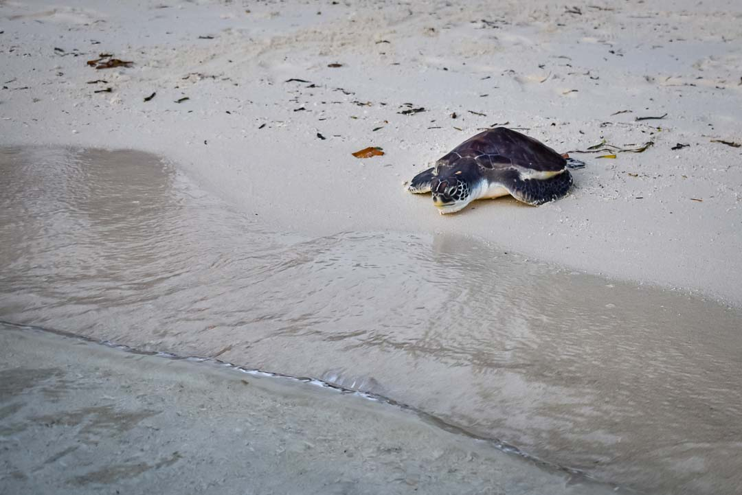 Naiko Green Turtle release Marine Savers Maldives (0013)