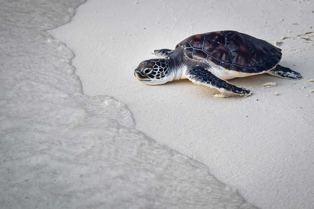 Naiko Green Turtle release Marine Savers Maldives (0019)