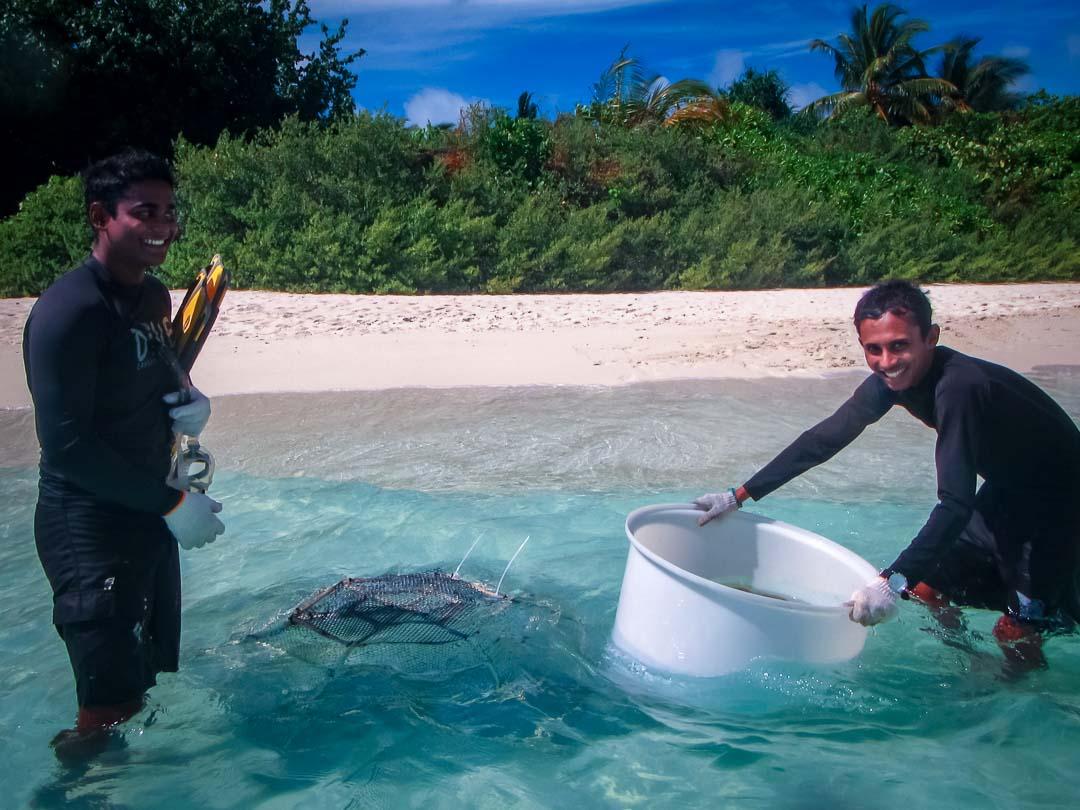 Releasing captive-bred clownfish (Asjadh and Saaniu)