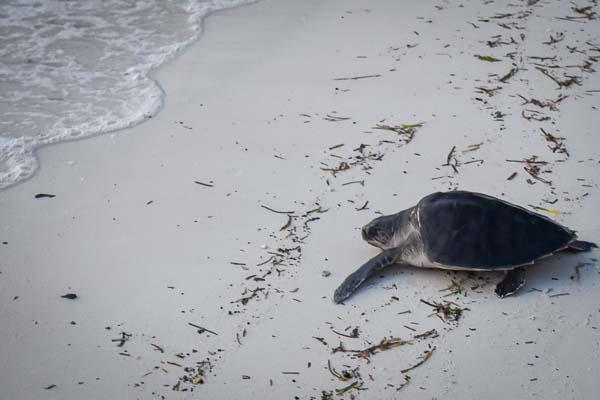 Sandie juvenile Olive Ridley Marine Savers Maldives release (1.5)