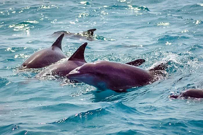 Saphire's Marine Biology internship Maldives (2) dolphins