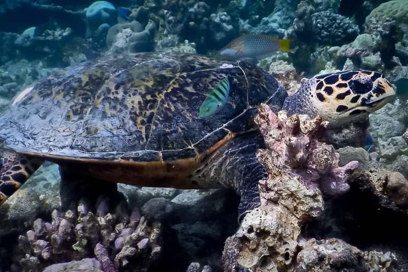 Turtle ID - Hawksbill Turtle EI0825 at Makunadhoo