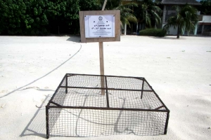 Turtle-Nest-1 (laid 21 Sept, V200) Landaa Giraavaru Maldives (1) (Marine Life from Lab to Ocean!)