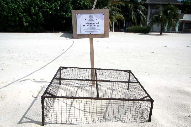 Turtle-Nest-1 (laid 21 Sept, V200) Landaa Giraavaru Maldives (1)