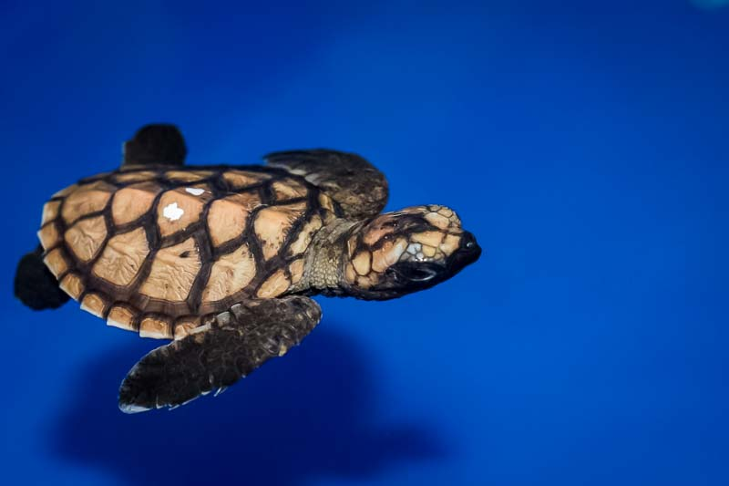 'Head Start' turtle hatchling