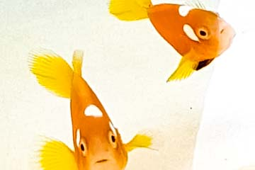 Fish Lab – clownfish new body pattern hybrid (2)