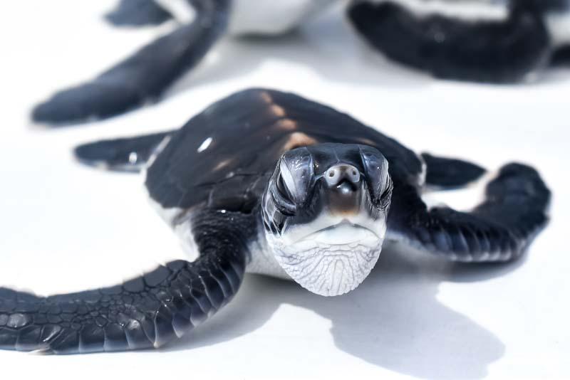 Green turtle hatchlings (N039) Dusit Thani Maldives