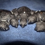 Green turtle hatchlings (N040 W-Resort Maldives)