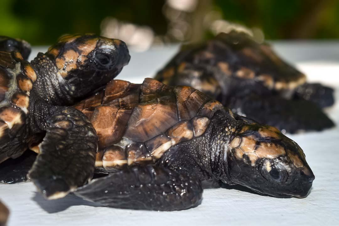 N016 (Voah nest) Hawksbill turtle hatchlings