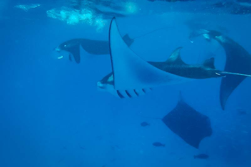 Saphire's marine biology internship Maldives (1) mantas