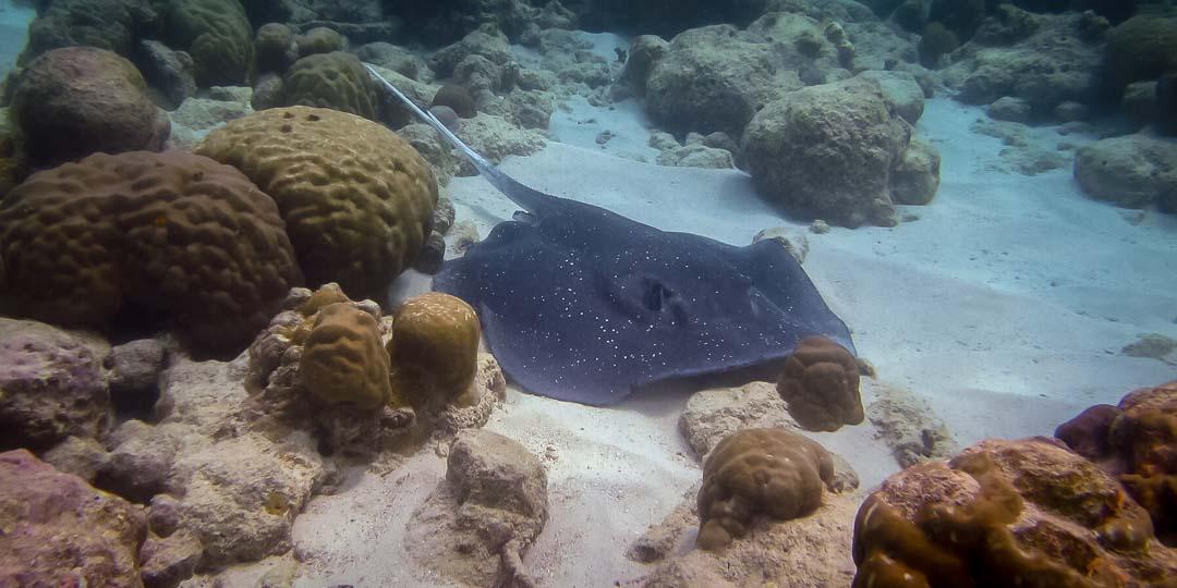 Saphire's marine biology internship Maldives (3) ray