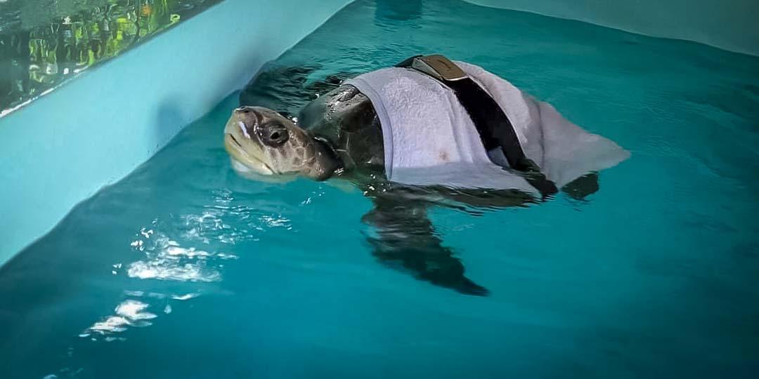 Saphire's marine biology internship Maldives (6) rescue turtle