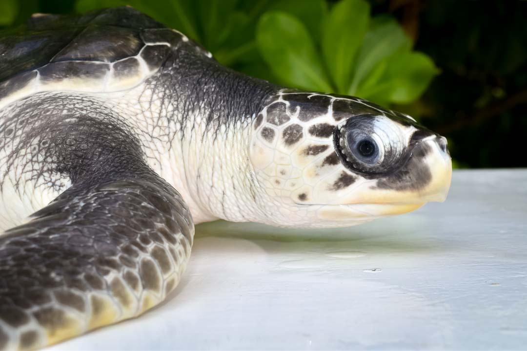 Snoopy – juvenile Olive Ridley turtle Marine Savers Maldives (1)