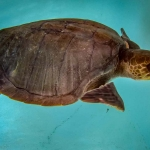 Indianna female Olive Ridley rescue turtle Maldives