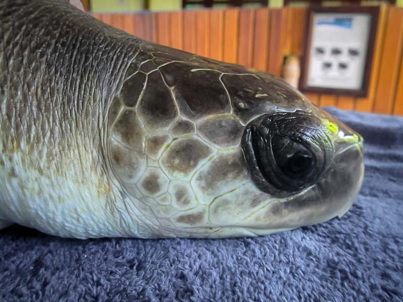 Ruby juvenile Olive Ridley turtle Marine Savers Maldives