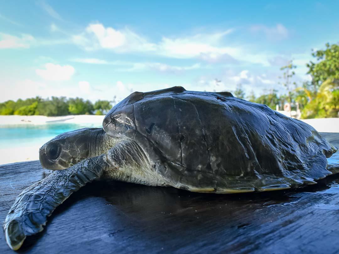 RB.LO.142 juvenile Olive Ridley turtle Marine Savers Maldives