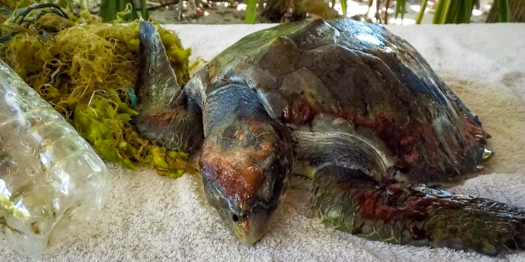 Sandie juvenile Olive Ridley turtle RB.LO.140 (13)