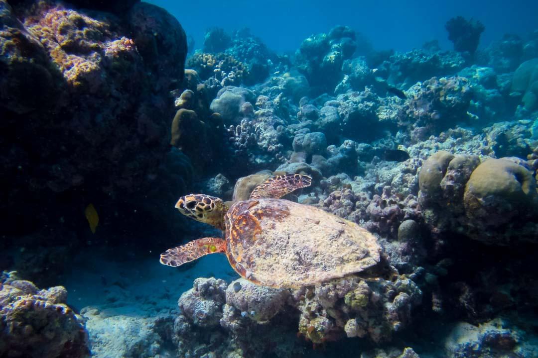 Saphire Marine Biology Internship Maldives (Hawksbill turtle)