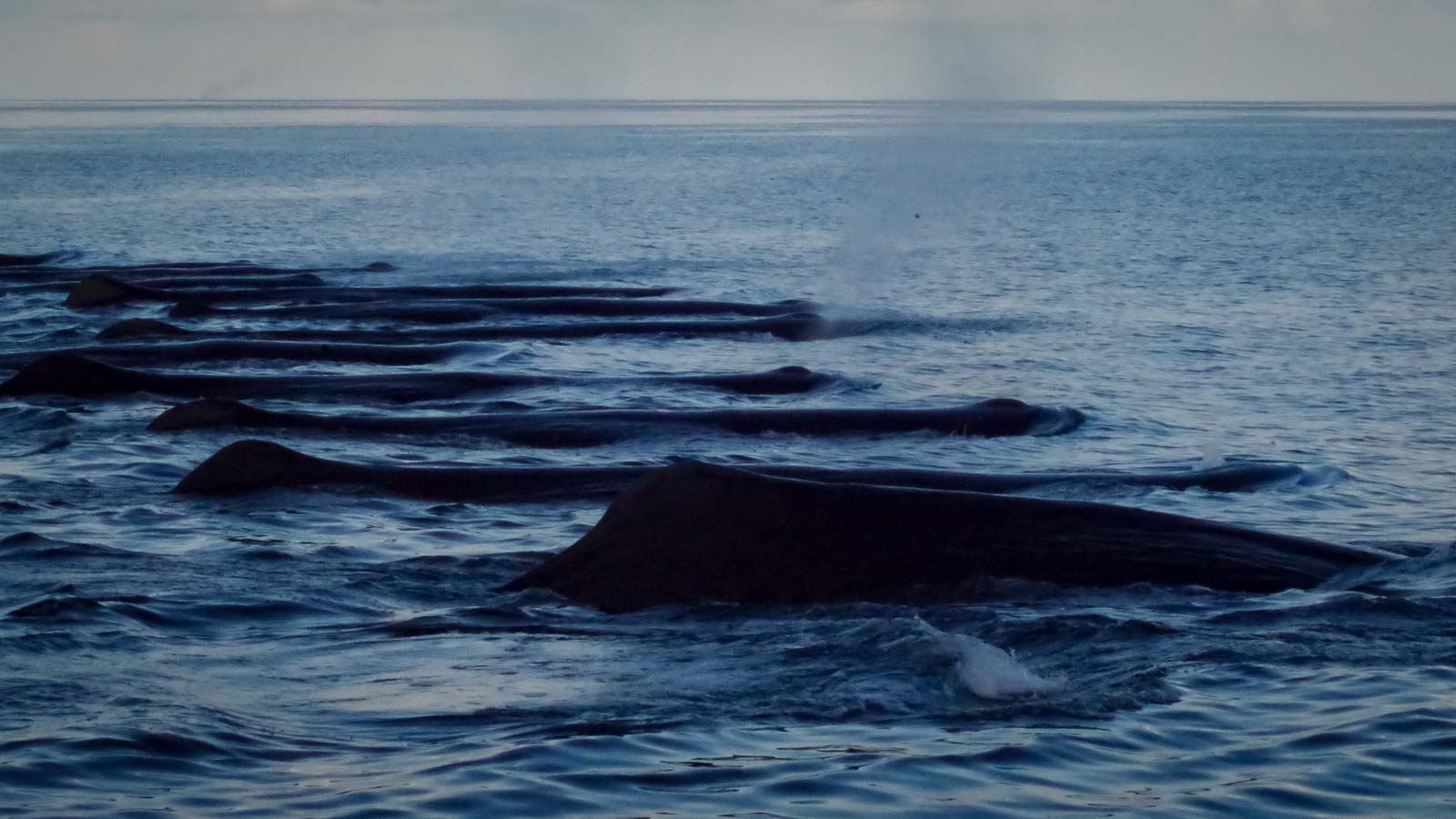 Sperm whales (Physeter macrocephalus) sighted in Maldives by Marine Savers