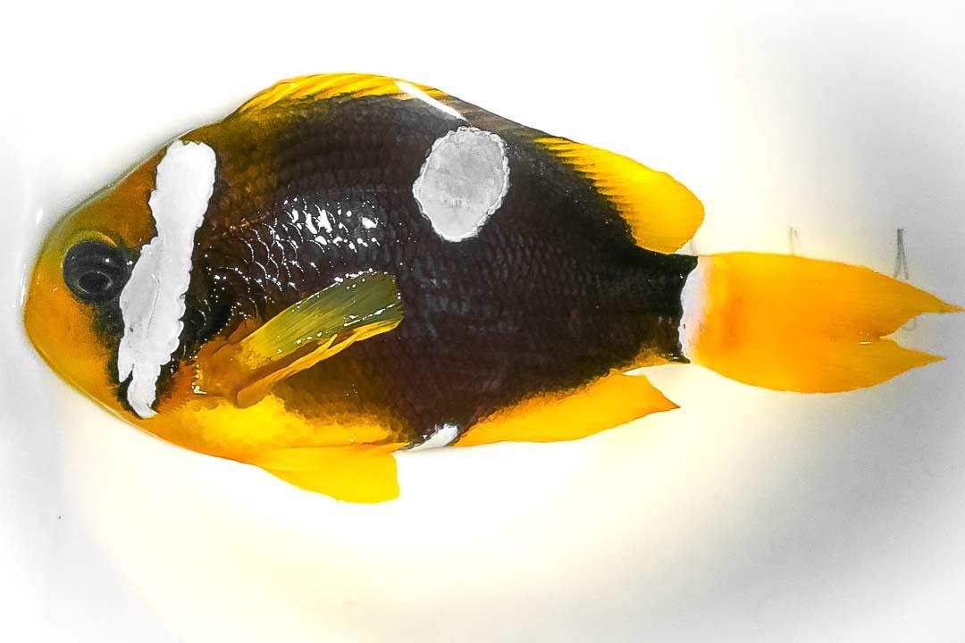 Clark's clownfish - unusual markings