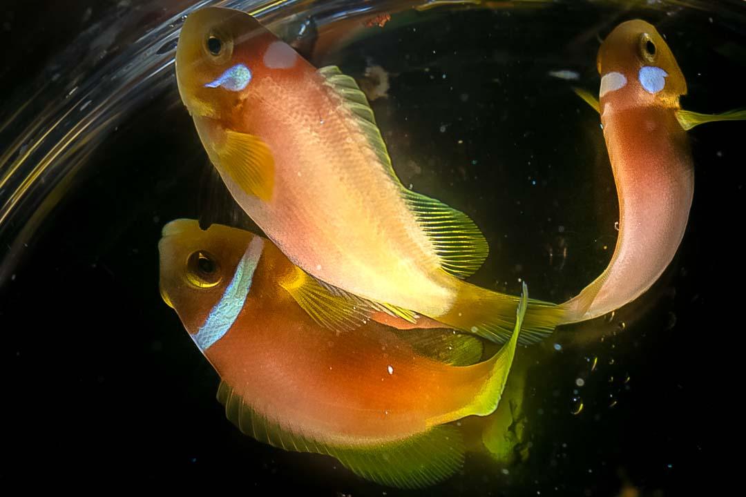 Fish Lab – Maldivian clownfish with unusual markings Marine Savers Maldives (2)