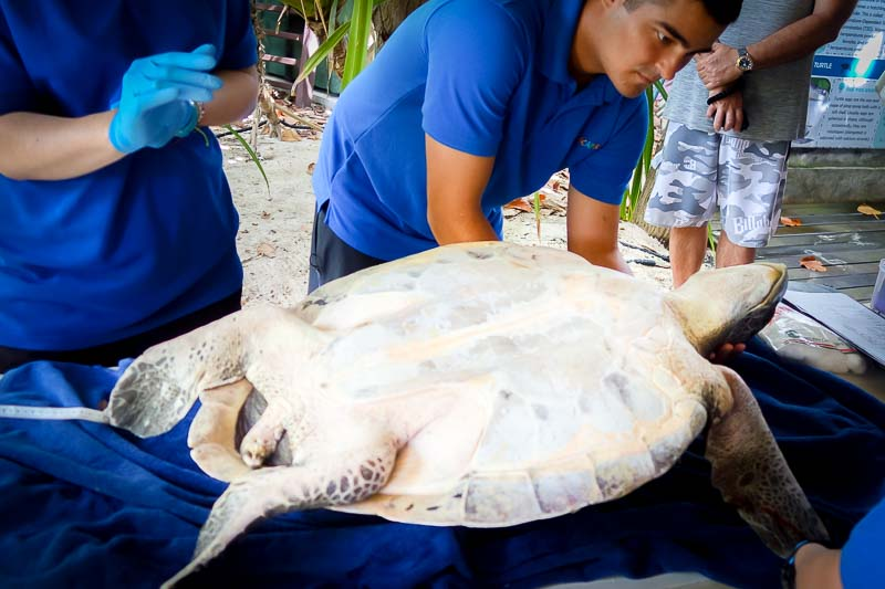 Flossy rescued juvenile Olive Ridley turtle Maldives