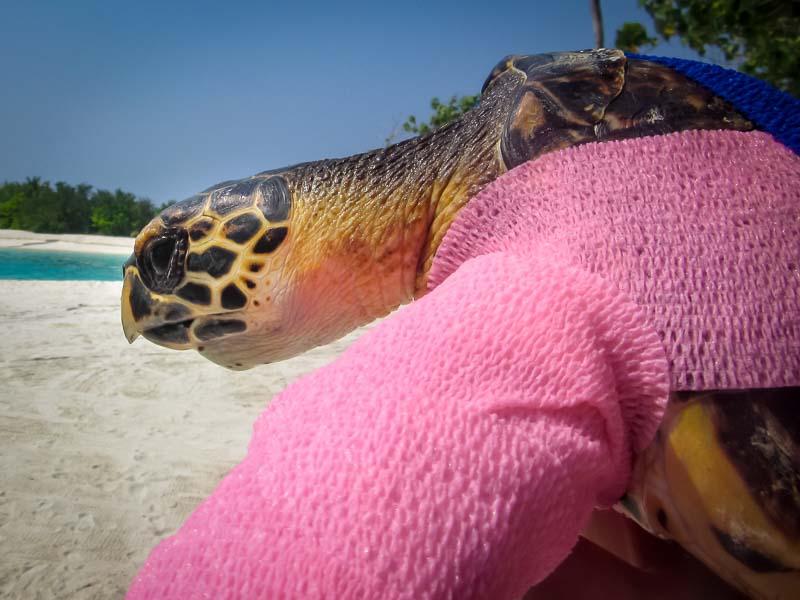 Tao rescue Hawksbill turtle Marine Savers Maldives (2)