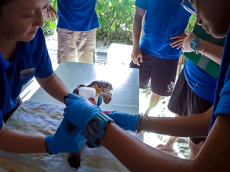 Tao rescue Hawksbill turtle Marine Savers Maldives (4)