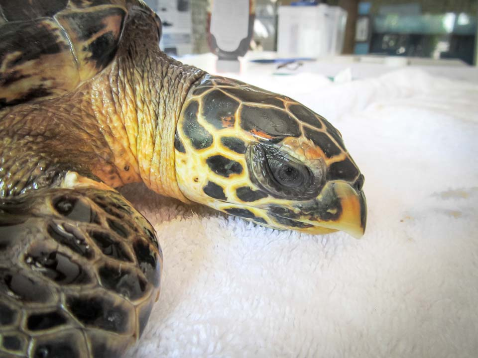 Tao rescue Hawksbill turtle Marine Savers Maldives (5)