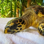 Acorn rescue Hawksbill turtle Marine Savers Maldives RBEI032