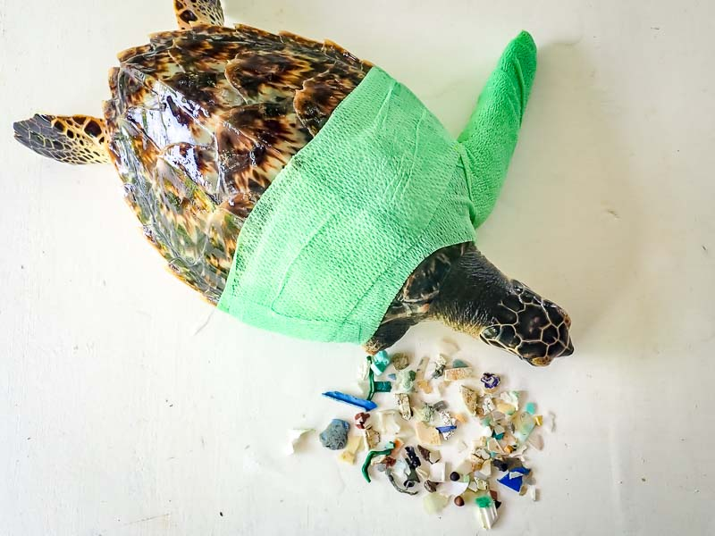 Tao rescue Hawksbill sea turtle Maldives plastic ingestion