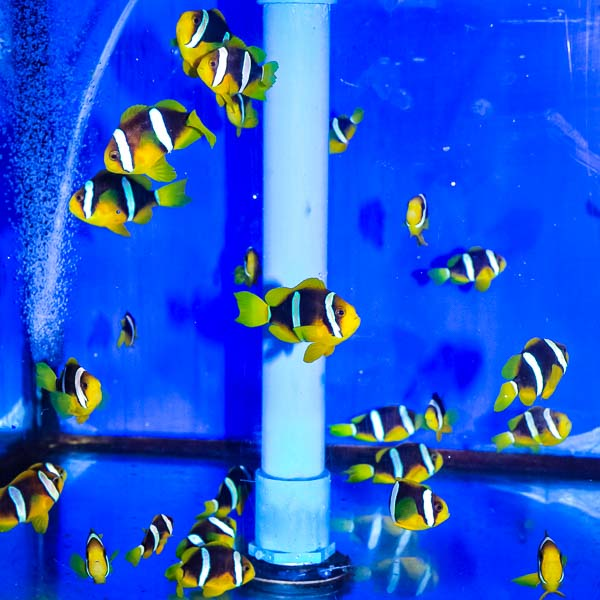 Lab bred Clownfish juveniles Marine Savers Maldives