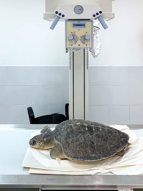Turtle X-ray Marine Savers Maldives
