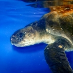 Aan - rescue Olive Ridley turtle [RB.LO.154] Marine Savers Maldives