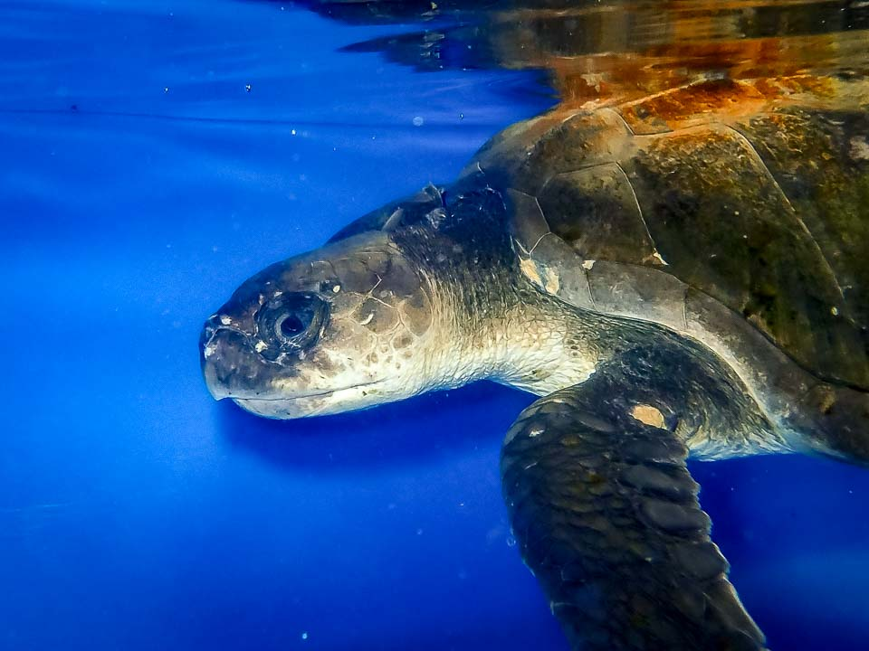Scapa rescue Olive Ridley turtle