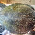 Bowser rescue Olive Ridley turtle Marine Savers Maldives RBLO164