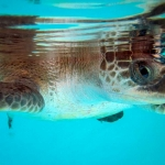 Chip female olive ridley turtle Maldives [RB.LO.160]