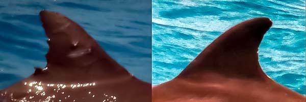 Dolphin ID - SL135 'Circle' re-sighted Marine Savers Maldives