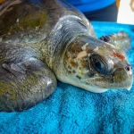 Eros Olive Ridley turtle rescued from ghost net
