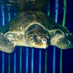 Koopa - rescue Olive Ridley turtle [RB.LO.158] Marine Savers Maldives