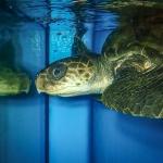 Nitrox - rescue Olive Ridley turtle [RB.LO.157] Marine Savers Maldives