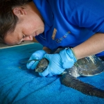Styx Olive Ridley turtle rescued from ghost net