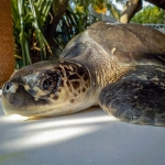 Titan (7) Olive Ridley turtle rescued from ghost net
