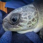 AQUA Olive Ridley rescue turtle Maldives (2)