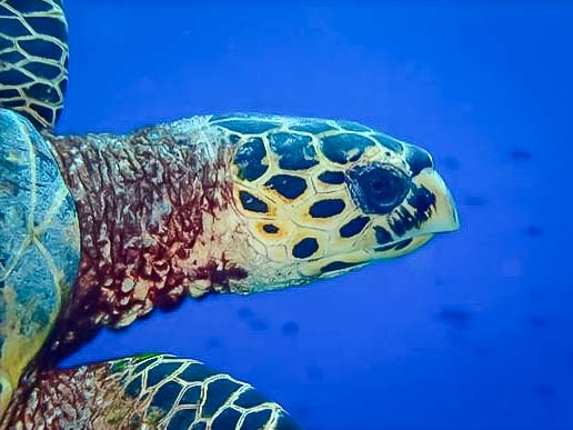 Turtle ID - Green Turtle CM186 at Medhufaru, South Male Maldives